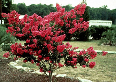 Althea RED tree