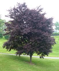 Krater Plum tree