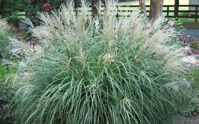 Adagio-Dwarf-Maiden-Grass