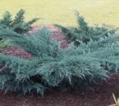 Angelica Blue Juniper shrub