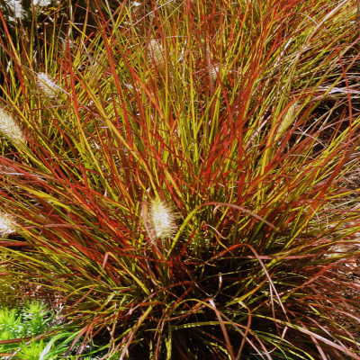 Burgundy Bunny Ornamental grass