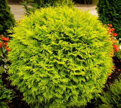 Golden Helleri Holly Shrub 3 gal  Priced at $ 18.00