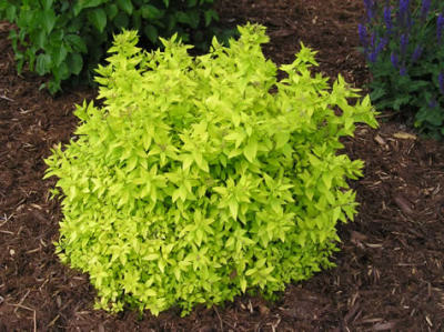Goldmound Spirea Shrub