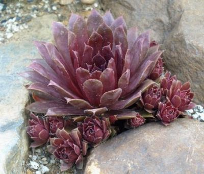 Hen and Chicks Ruby Sempervivum