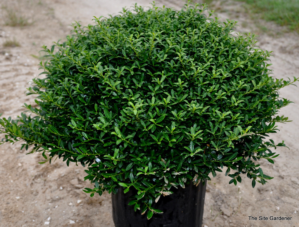 Soft Touch Holly Shrub