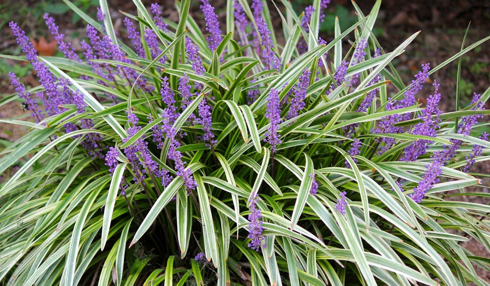 Variegated Liriope Grass