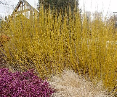 Yellow Twig Dogwood Grass