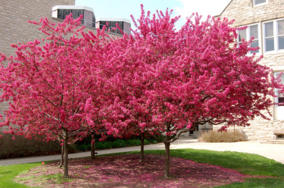 Prairiefire Crab-Apple Tree