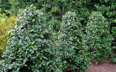 Oakland Holly Shrub