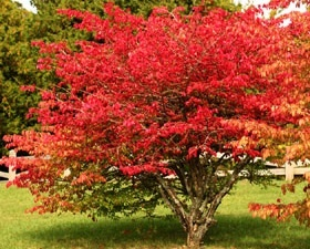 Burning Bush Euonymous
