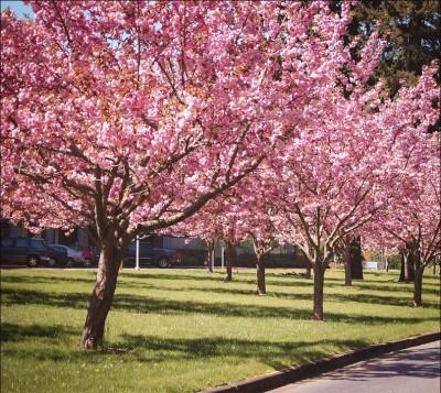 Kwanzan cherry tree