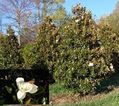 Little Gem Magnolia