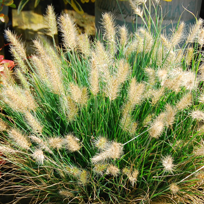 Little Honey Ornamental grass