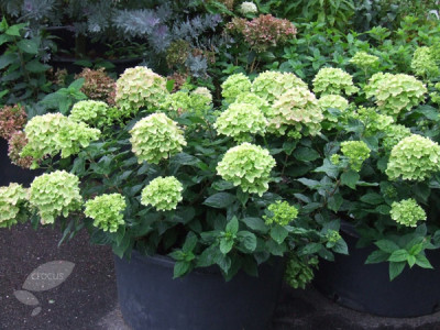 Little Lime Jane Hydrangea