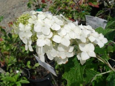 Oak Leaf ( Ellen Huff ) Hydrangea