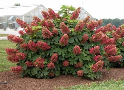 Oak Leaf ( Ruby Slippe ) Hydrangea