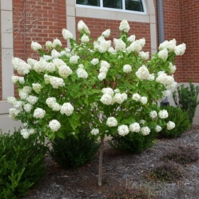 Tree Limelight Hydrangea