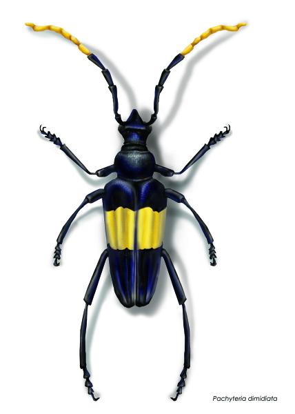 Eleder Borer Beetle