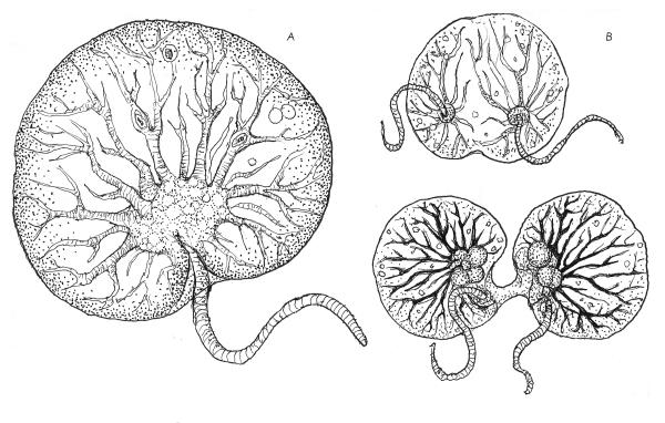Dinoflagellate Fusion