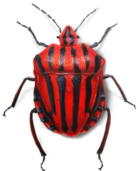 Italian Striped Bug