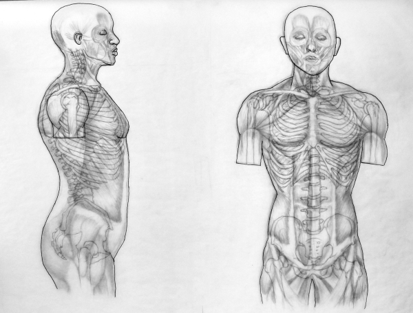 Muscle & Skeletal Structure of the Torso