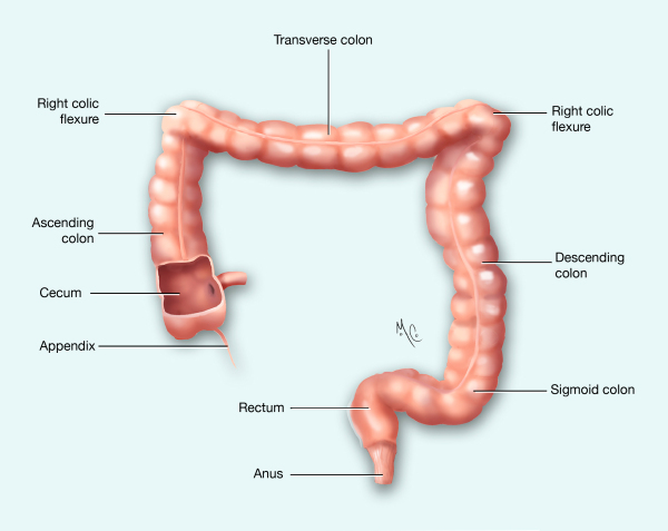 Large Intestines