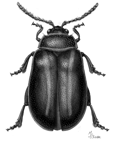Kuschelina decorata (Flea Beetle)
