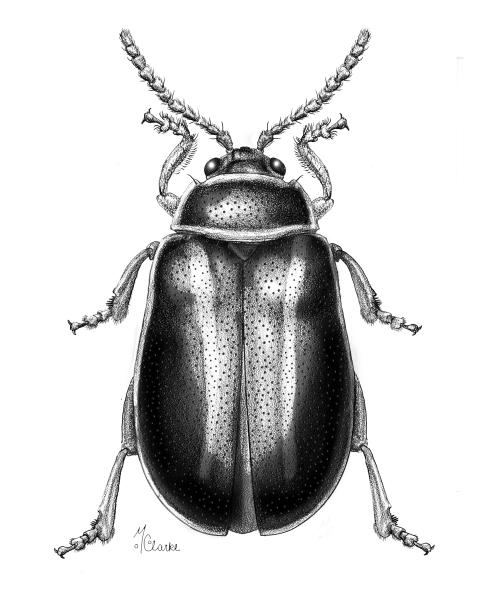 Kuschelina (Flea Beetle)