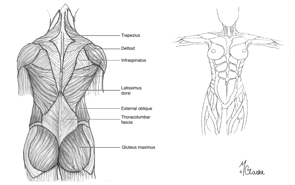 Human Muscle Anatomy