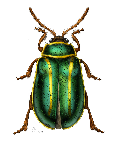 Kuschelina (Flea Beetle) Colored