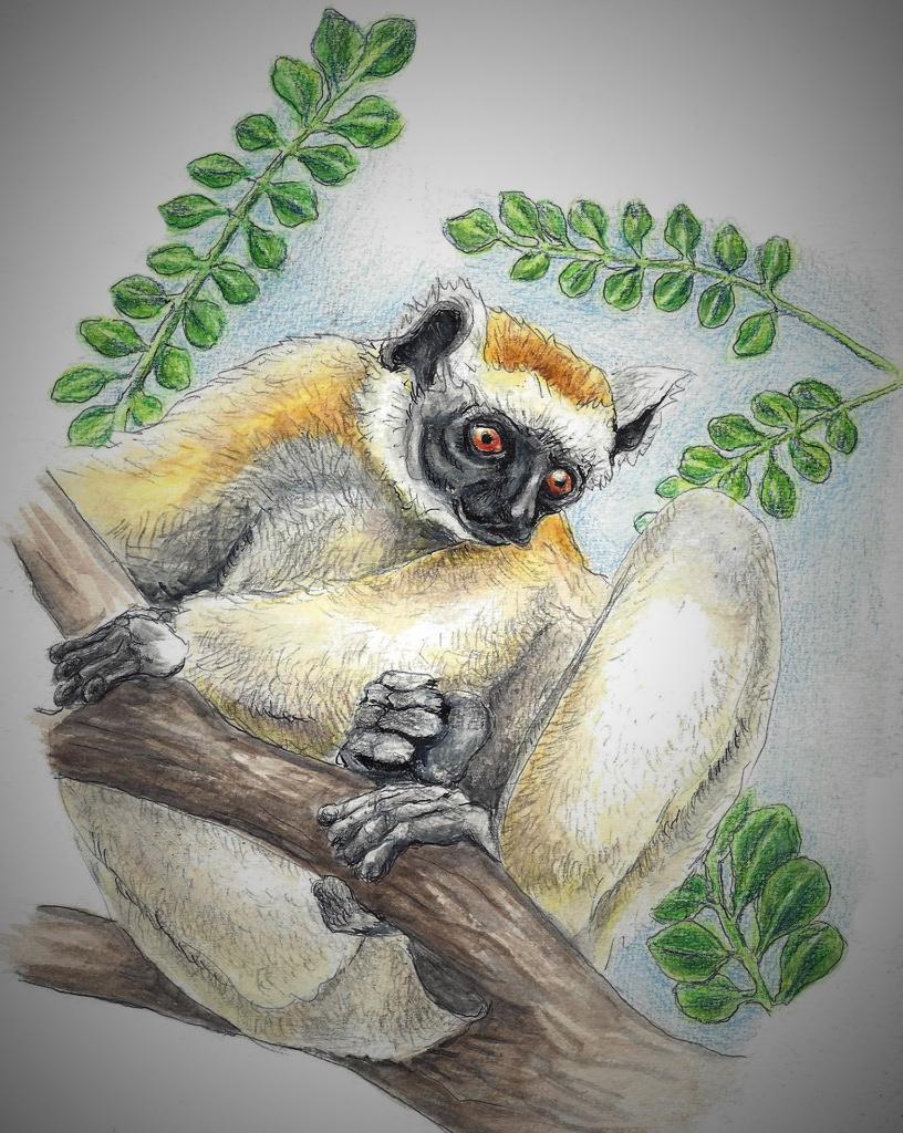 Golden Crowned Sifaka Lemur