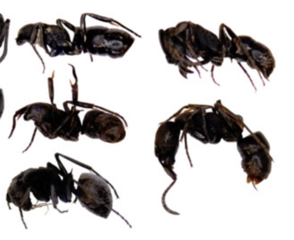 dead ants