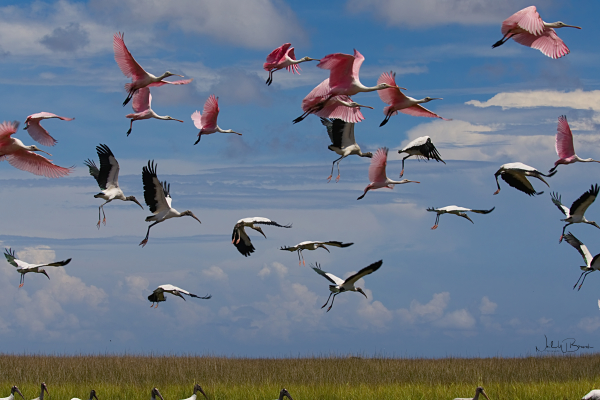 Spoonbills and Storks