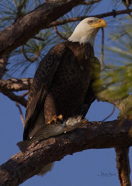 Eagle and Trout
