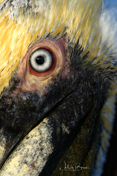 Eye of the Pelican