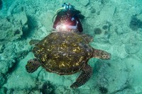 Hawaiian Sea Turtles are always in abundance