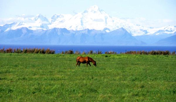 Alaska Horse in Field