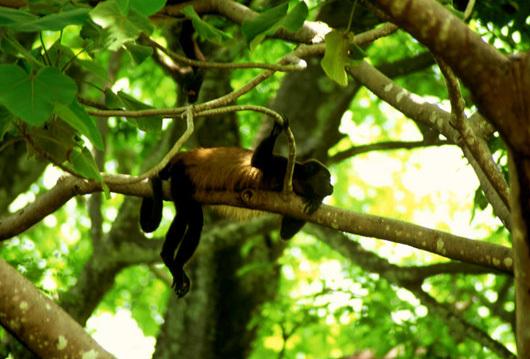 Monkey Nosara