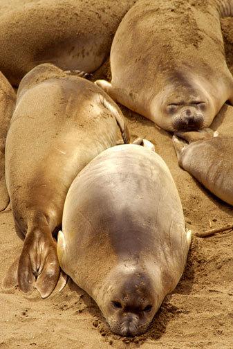 Sea Lions Big Sur