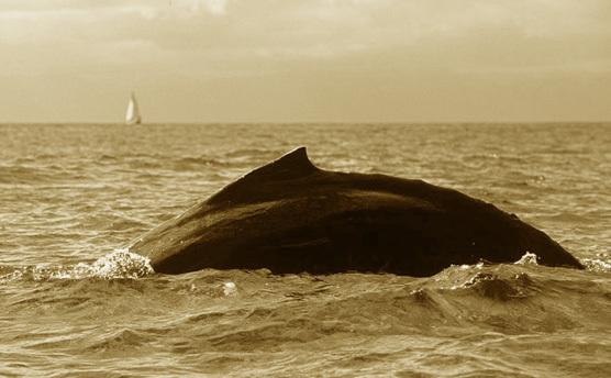 Whale Puerto Vallarta