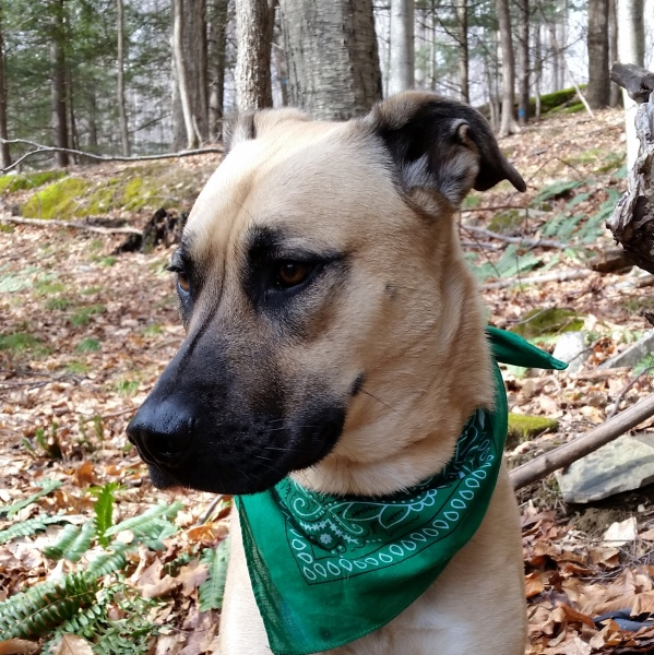 dog pack, pack walk, dog camp, green bandana dogs