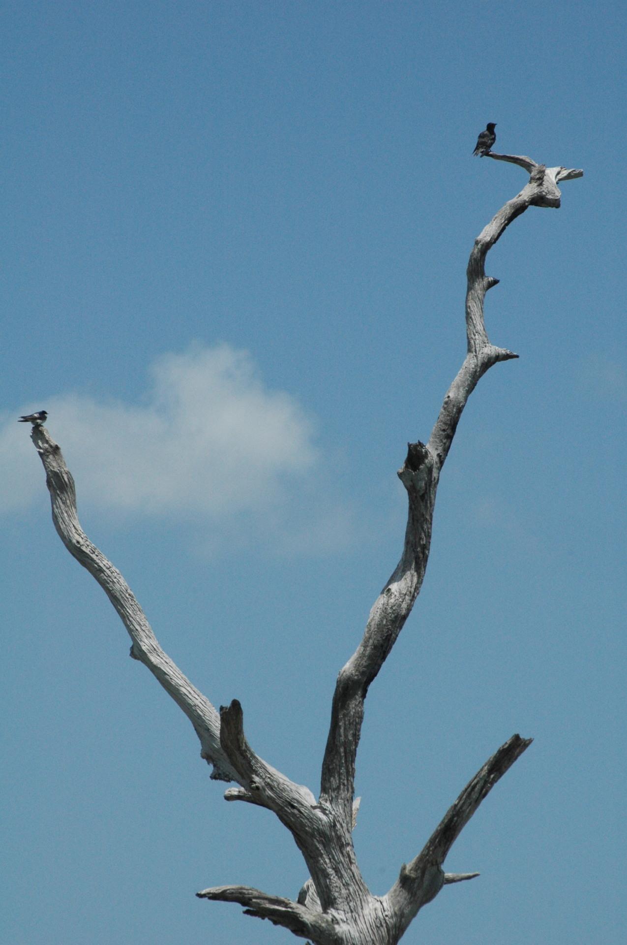 Green Cay barren tree