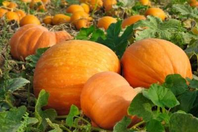 Pumpkins!  (Commonwealth of Massachusetts Photo)