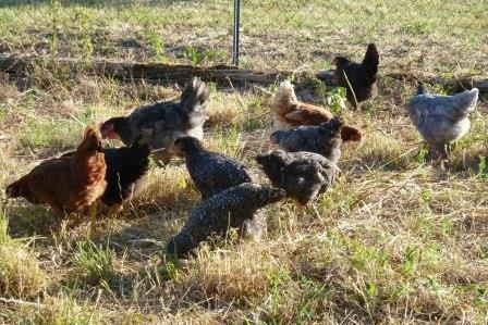 L'élevage avicole