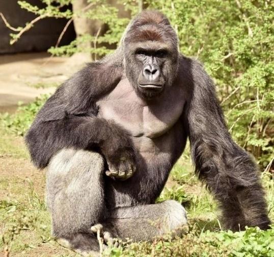 Gorilla - Harmbe