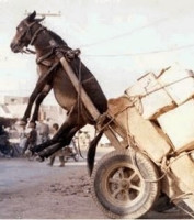 "alt=""Donkey picked up by heavy cart"""