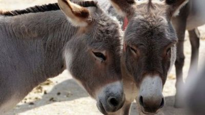 """alt=""""Why are donkeys facing their 'biggest ever crisis'?"""""""