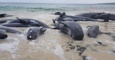 "alt=""Hamelin Bay: Nearly 150 beached whales die in Australia"""