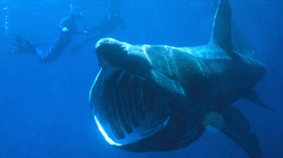 "alt=""Groups of up to 1,400 basking sharks seen off off N.S., northeastern U.S."""