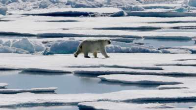 """alt=""""Polar bears in North are getting into more garbage"""""""